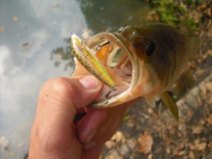 Black-bass vs Rapala