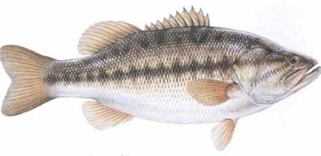 Black Bass