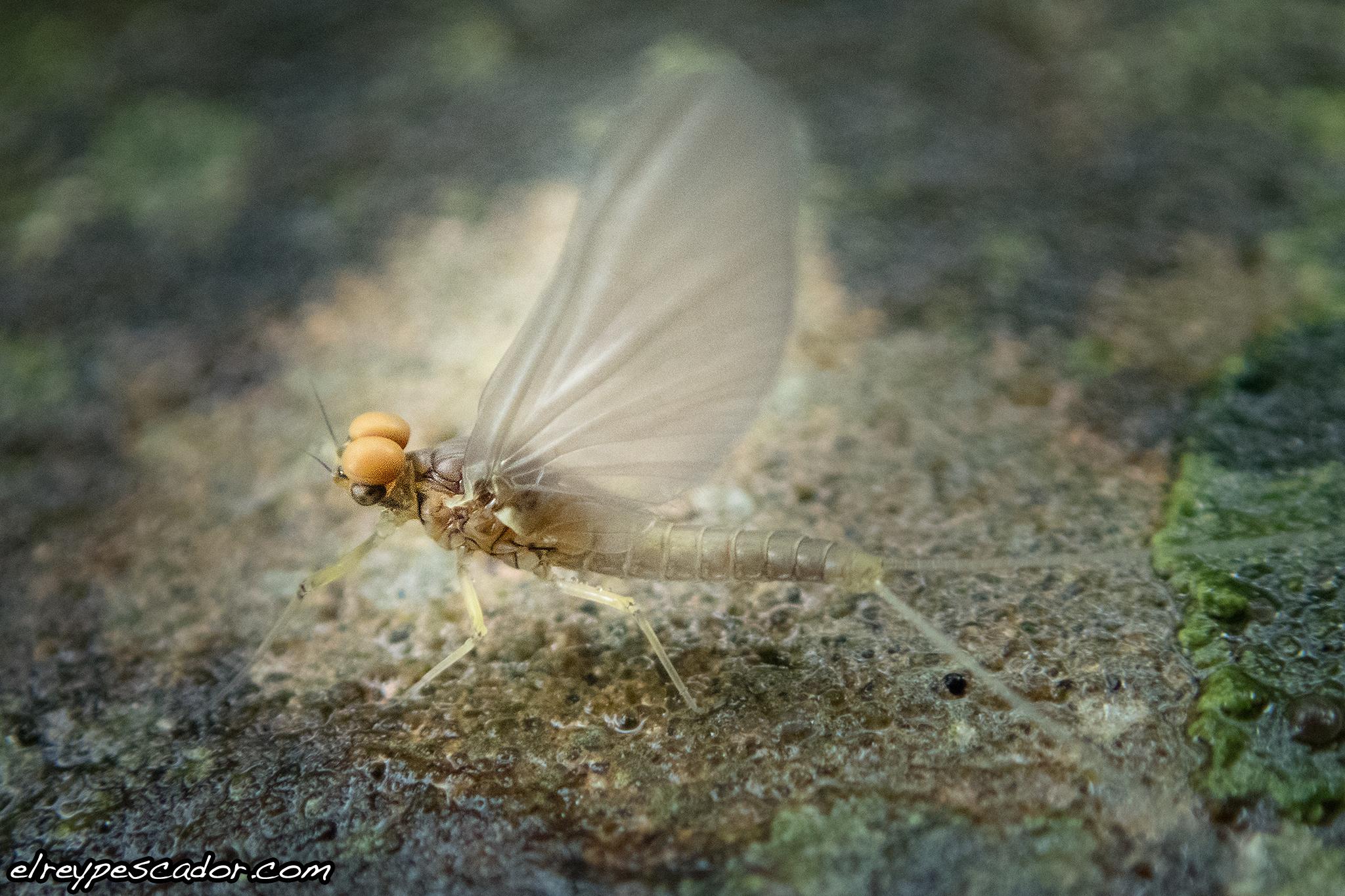 Efémera / Ephemeroptera